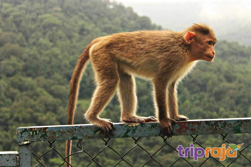 dudhsagar waterfall trip - Monkey
