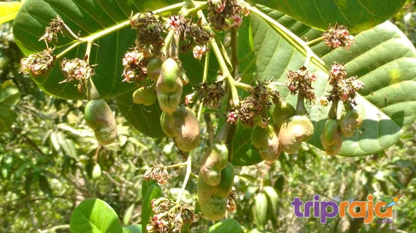 Cashew-Fruit-Tree-at-Natures-Nest-Resort---tripraja.com