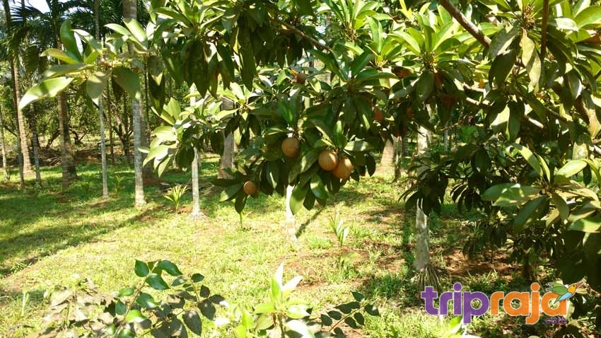 Chikoo-Frut-Tree-at-Natures-Nest-Resort---tripraja.com