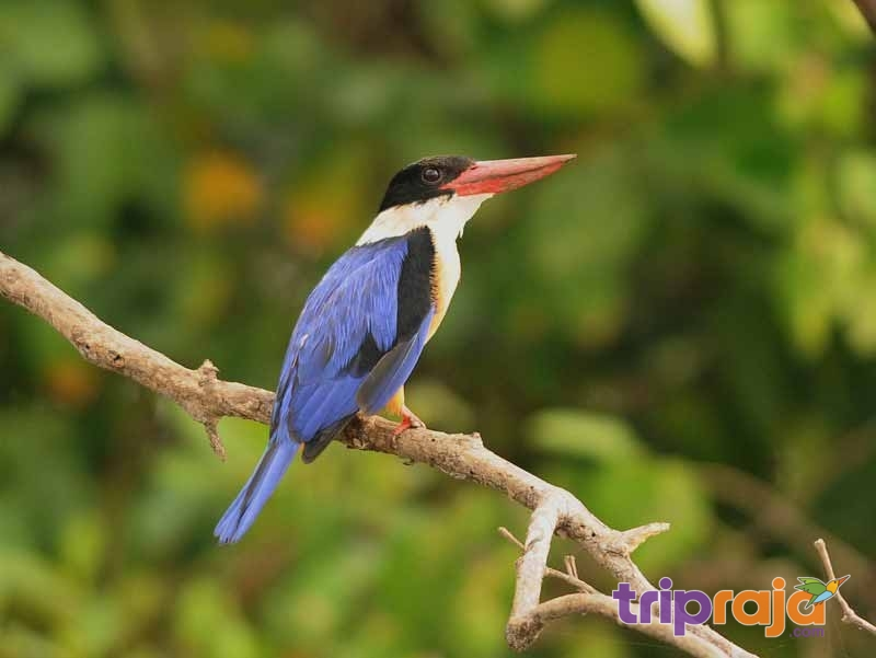 Black-capped-Kingfisher