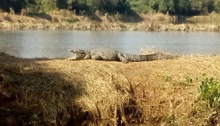 Crocodile safari boat trip goa