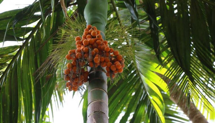 Bettle-Nut-Tree-at-Sahakari-Spice-Farm
